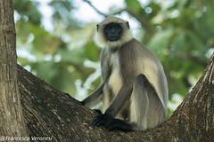Grey-tufted Langur - Nagarhole NP - Karnataka CD5A8652