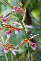 Orchidées Phaius Wallichii (Museum national d'histoire naturelle, Paris) - Photo of Paris 2e Arrondissement