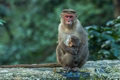 Bonnet Macaque - Kerala CD5A6785