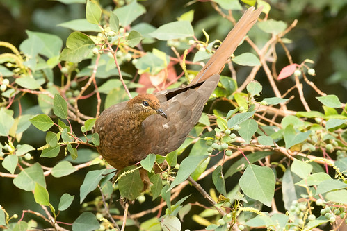 Brown Cuckoo-dove (Macropygia phasianella phasianella)