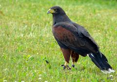 Parabuteo unicinctus: Harris Hawk. (Captive Show Bird)