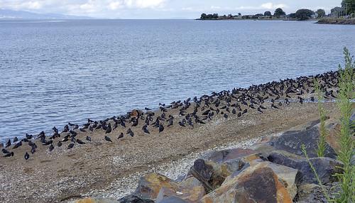 Oystercatchers en Masse