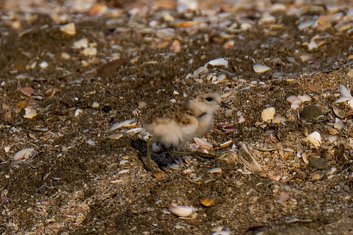 Young New Zealand dotterel (plover) out adventuring - Charadrius obscurus