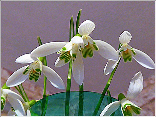 Another Snowdrop Composition ..
