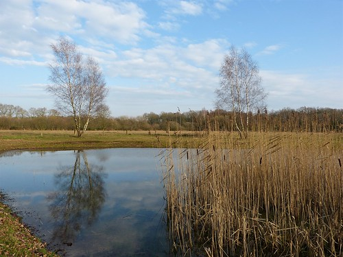 Birches and reeds