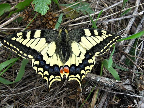 Butterfly 1930  (Papilio machaon)