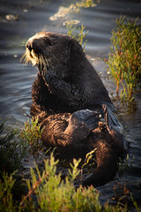 Sea Otter in Elkhorn Slough , Moss Landing, Ca