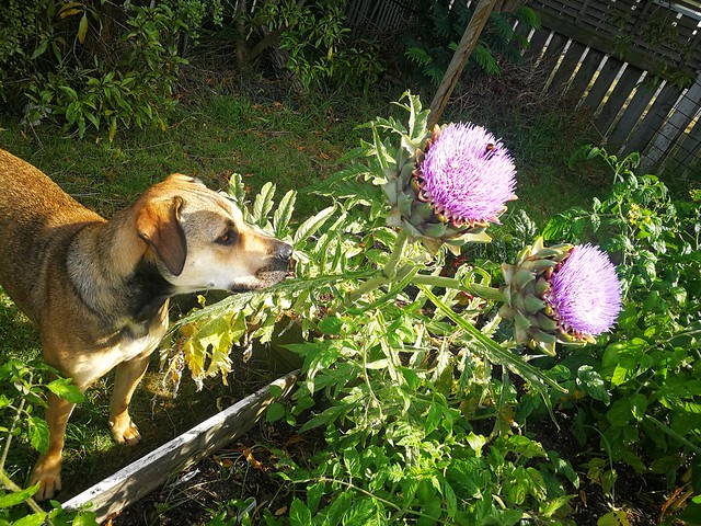 Ruby and the artichoke flowers