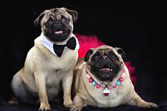 Daisy and Duke Pug
