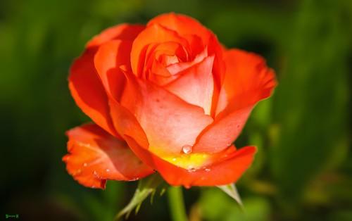 Rose - 8089