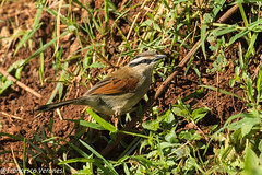 Brown-crowned Tchagra - Aberdares - Kenya CD5A1561
