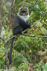 White-necked Sykes Monkey - Aberdares - Kenya CD5A2075