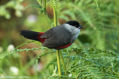 Black-headed Waxbill - Mt.Kenya - Kenya  CD5A0546