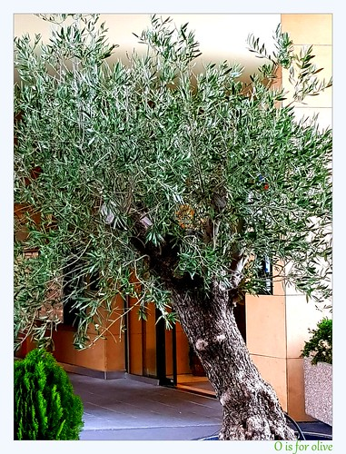 O is for olive tree