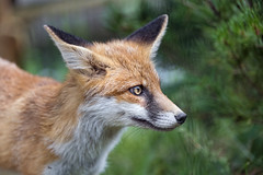 Profile of a fox