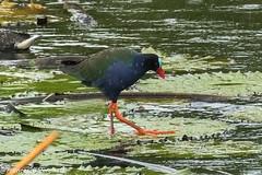 Allen's Gallinule - Mwea Reserve - Kenya CD5A0057-Modifica