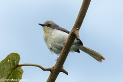 Gray Apalis - Mt.Kenya - Kenya CD5A0189