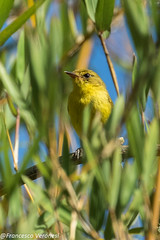 Mountain Yellow Warbler - Aberdares - Kenya CD5A1608