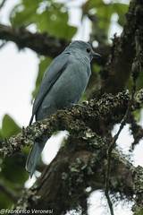 Gray Cuckoo-Shrike - Mt.Kenya - Kenya CD5A0228