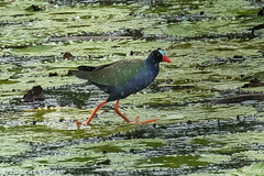 Allen's Gallinule in the rain - Mwea Reserve - Kenya CD5A0070