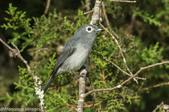 White-eyed Slaty-Flycatcher - Mt.Kenya - Kenya CD5A0582