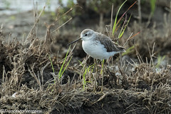 Marsh Sandpiper - Nairobi area - Kenya CD5A2435