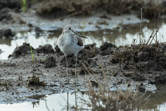 Common Greenshank - Nairobi area - Kenya CD5A2416