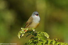 Yellow-bellied Waxbill - Mt.Kenya - Kenya