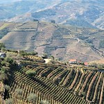 Vineyards In The Douro Valley, Northern Portugal by Sue Ould