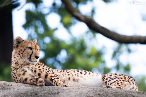 Cheetah lying on a rock