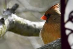 Good hair day! Female cardinal
