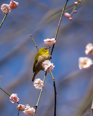 Mejiro (Japanese white-eye) and ume (plum blossoms)