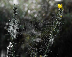 A Spider's Thorny Home