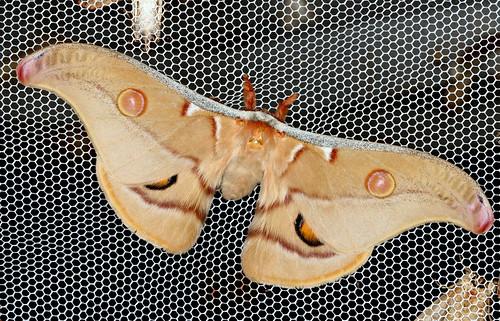 Gum Emperor Moth, Opodiphthera eucalypti