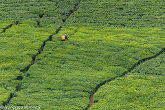 Tea plantation - Mt.Kenya CD5A1196