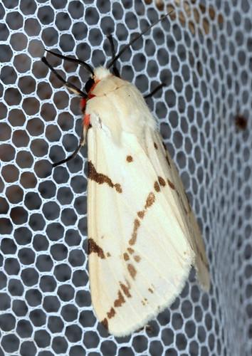 Light Ermine Moth, Spilosoma canescens