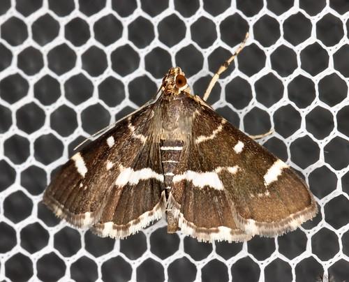 Spotted Beet Webworm Moth, Hymenia perspectalis
