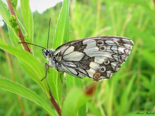 Butterfly 1932 (Melanargia galathea)