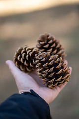 Handful of Pinecones