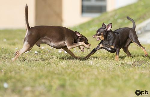 Jeux de chiens