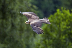 Flying bird of prey