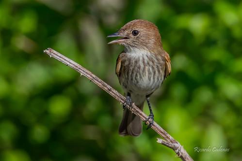 Mosqueta Estriada - Bran-colored Flycatcher