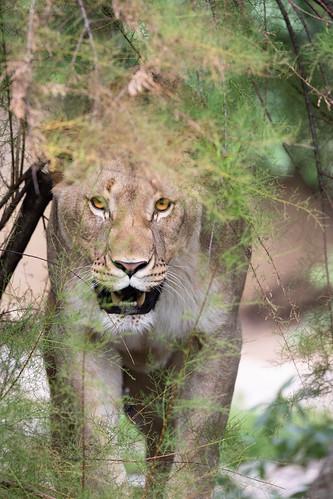 Lioness hidding behind a bush