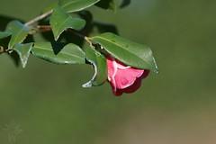 Camellia Christmas Carol