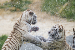 Fighting tigresses