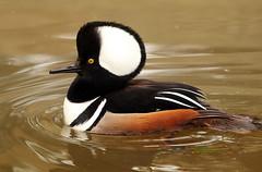 Male hooded Merganser - Duck - Sylvan bird park  -  North Carolina