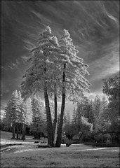 Triple Redwood, Infrared Monochrome
