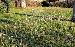 [16\2\2020] Dandelion Season