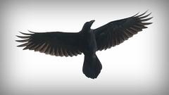 Raven flying overhead, Callakille, Applecross 2019