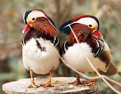 Mandarin ducks birds - Sylvan Bird Park